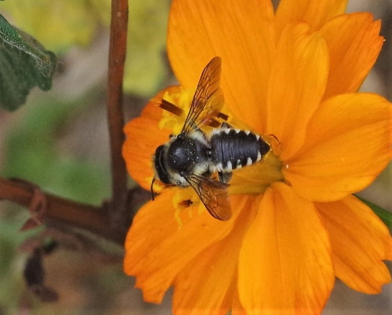 MEGACHILIDAE Megachile octosignata 1.JPG