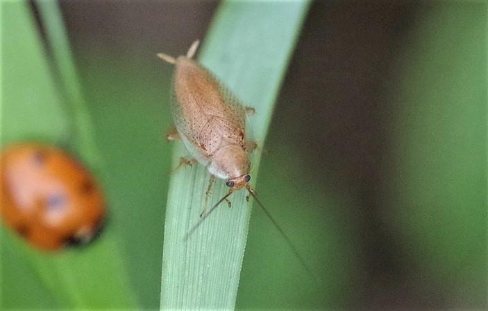 DICTYOPTERA BLATTELLIDAE Ectobius pallidus 1.JPG