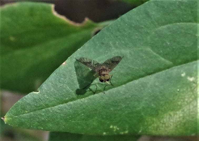 RHAGIONIDAE Chrysopilus nubecula.JPG