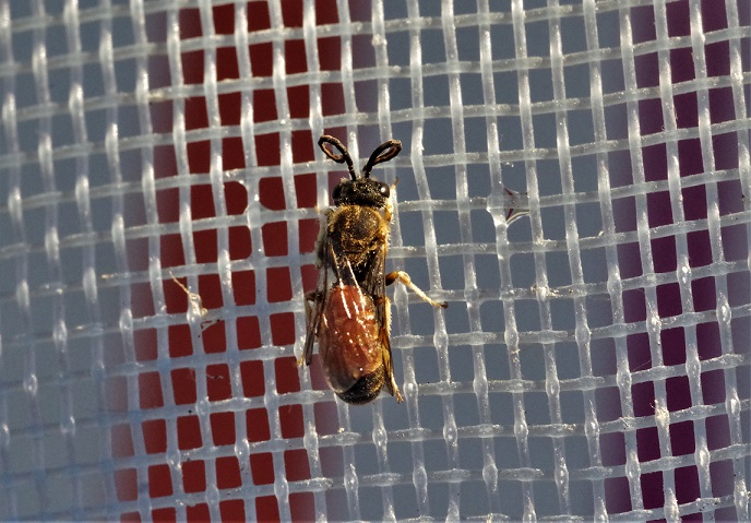 ANDRENIDAE Andrena labiata 4.JPG