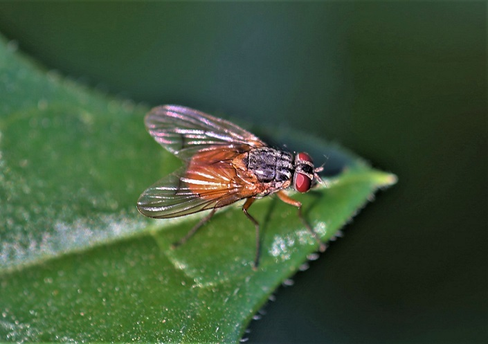 ANTHOMYIIDAE Pegomya sp..JPG