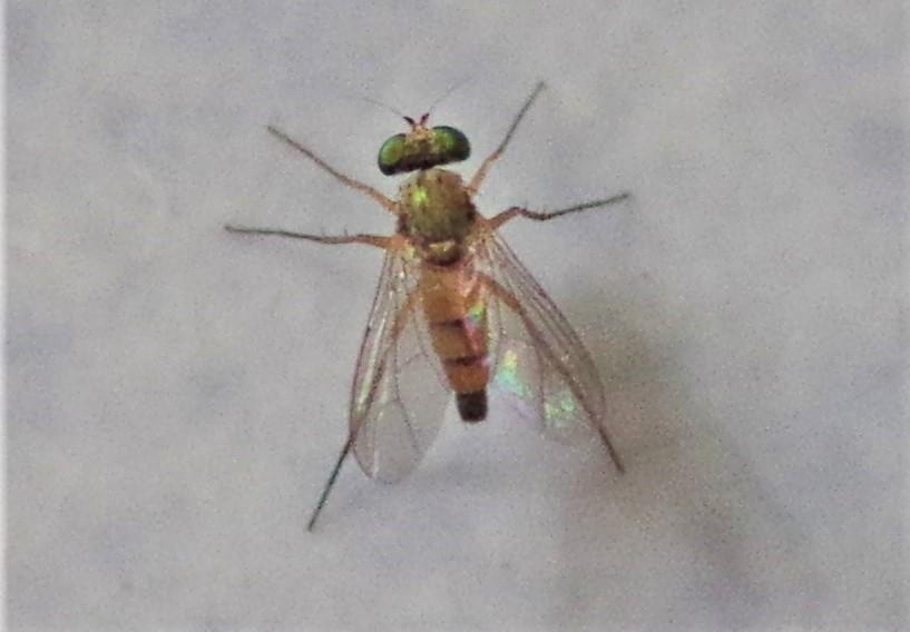DOLICHOPODIDAE Sciapus heteropygus.JPG