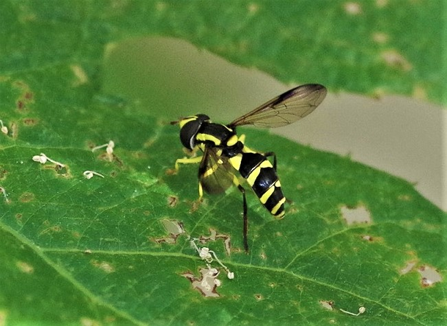 SYRPHIDAE Xanthogramma dives 2.JPG