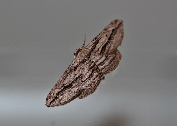 GEOMETRIDAE Ecleora solieraria (petite boarmie du cyprès).JPG