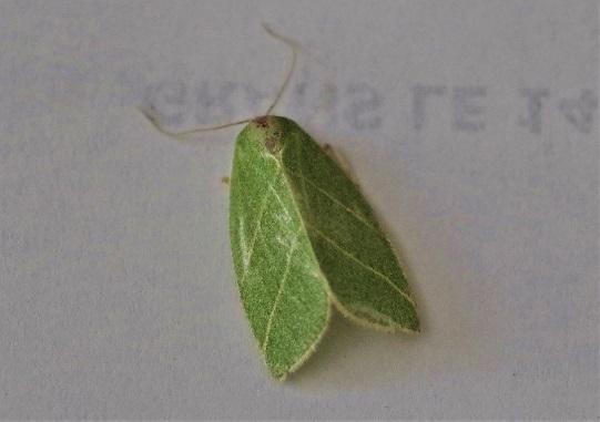 NOLIDAE Bena biclorana (halias du chêne) 1.JPG