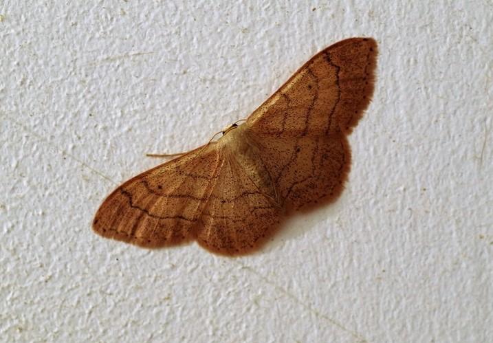 GEOMETRIDAE Idaea aversata 1 (acidalie détournée).JPG