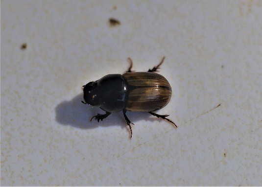 APHODIIDAE Aphodius foetidus 2.JPG
