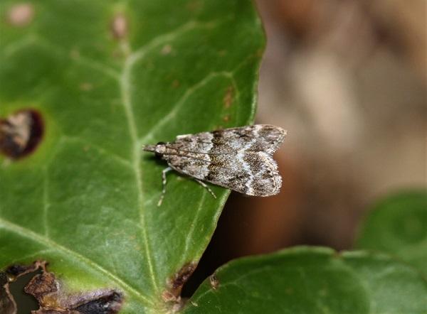 CRAMBIDAE Scoparia ambigualis (eudorée commune).JPG