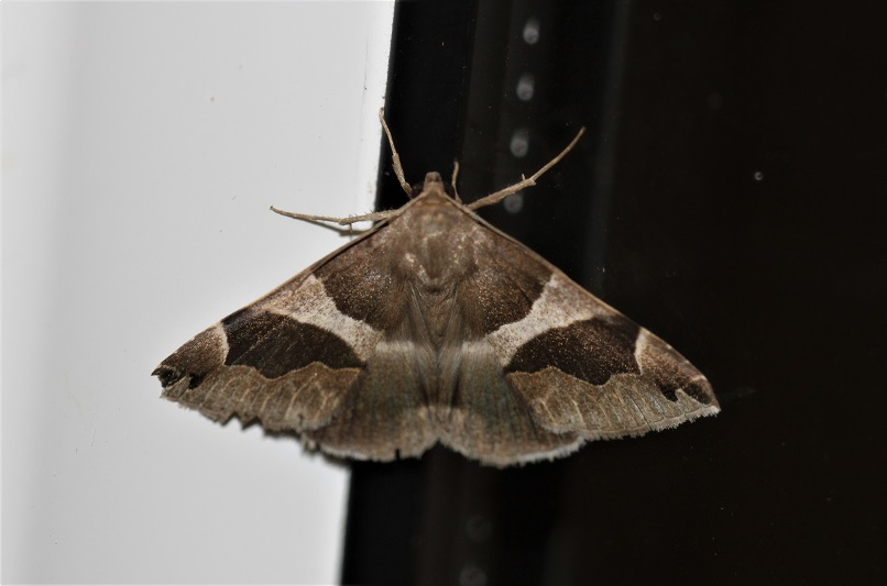 EREBIDAE Dysgonia algira 2 (passagère).JPG