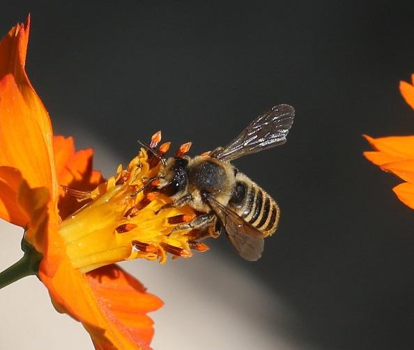 MEGACHILIDAE Megachile centuncularis 7.JPG