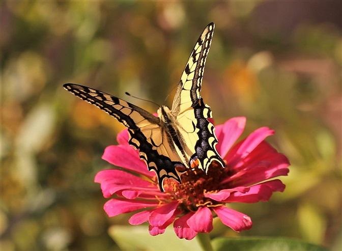 PAPILIONIDAE Papilio machaon 2 (2).JPG