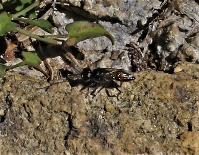 AMPULICIDAE Dolichurus sp..JPG