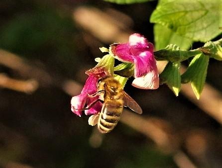 APIDAE Apis mellifera 3 (abeille domestique).JPG