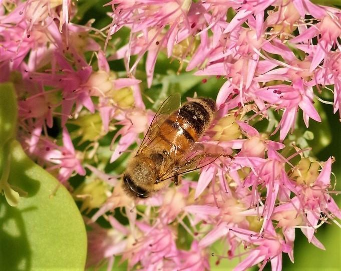 APIDAE Apis mellifera 4 (abeille domestique).JPG