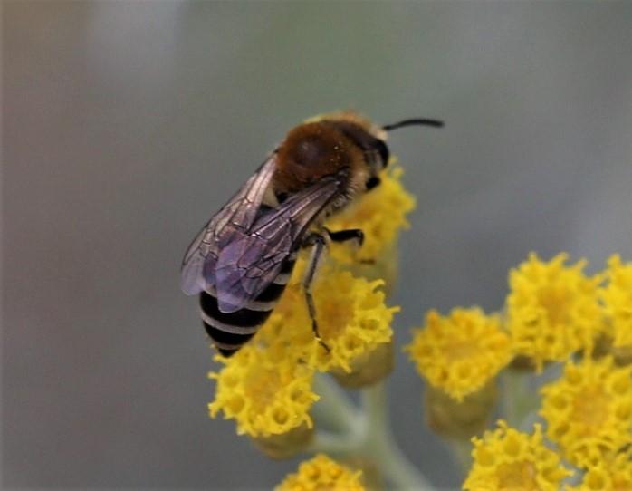ANDRENIDAE Andrena gravida 1.JPG