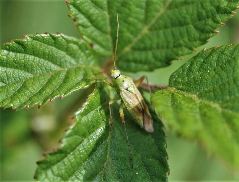 MIRIDAE Closterotomus norwegicus 2.JPG