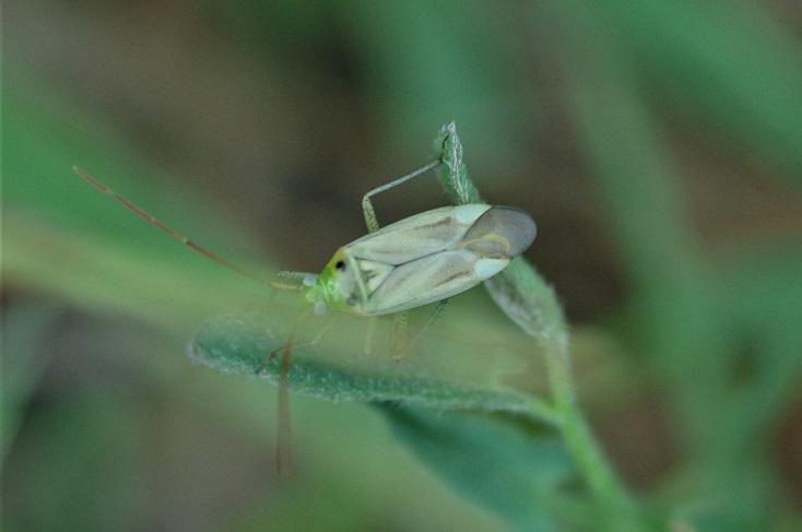 MIRIDAE Adelphocoris lineolatus 1.JPG