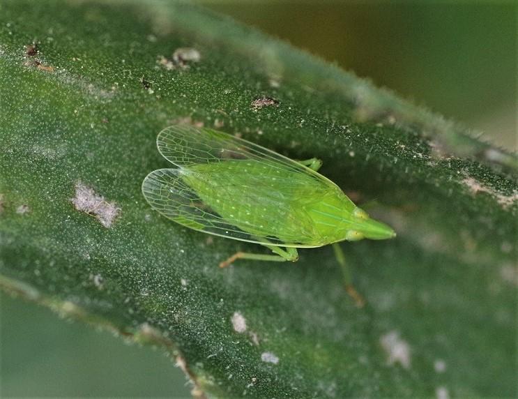 DICTYOPHARIDAE Dictyophara europea (fulgore d'Europe).JPG
