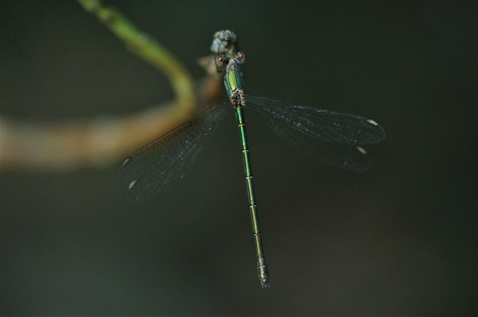 LESTIDAE Chalcolestes viridis 10.JPG
