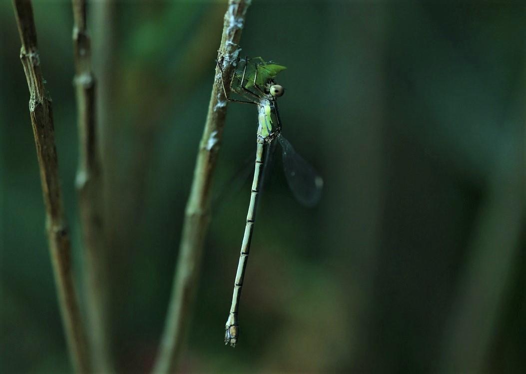 LESTIDAE Chalcolestes viridis 11.JPG