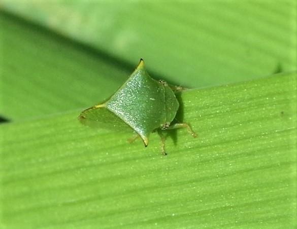 MEMBRACIDAE Strictocephala bisonia 4.JPG
