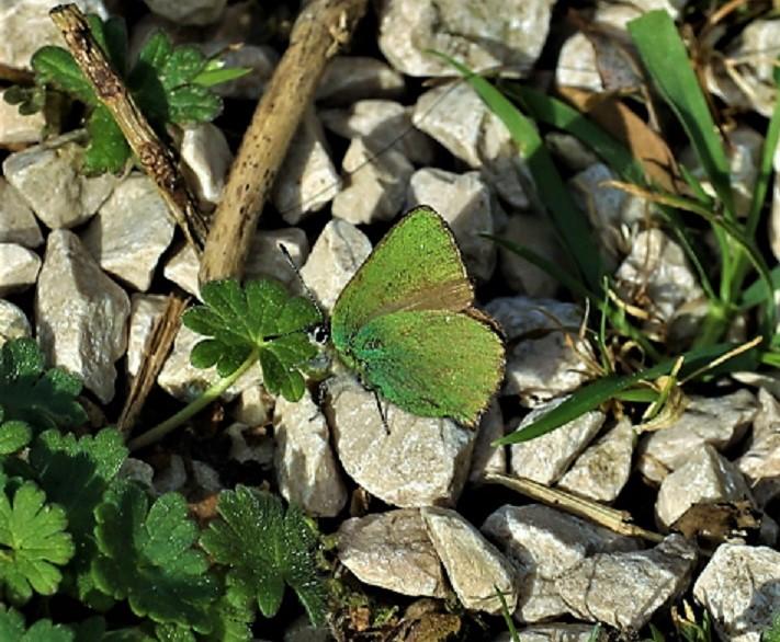LYCAENIDAE Callophrys rubi 2.JPG