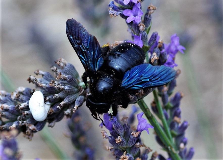 APIDAE Xylocopa iris.JPG