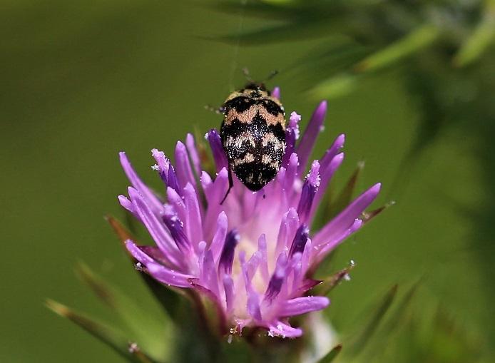 DERMESTIDAE Attagenus trifasciatus 2.JPG