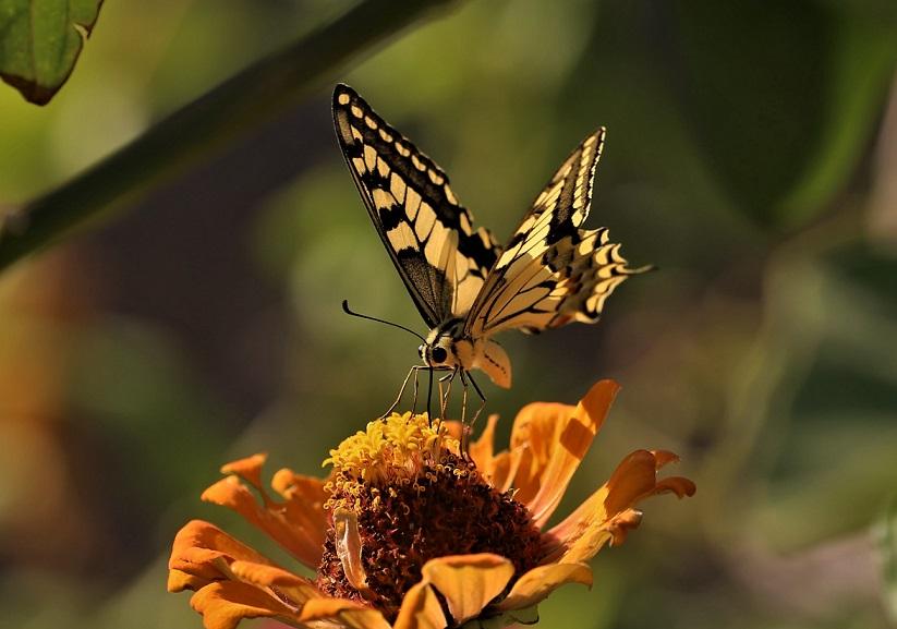 PAPILIONIDAE Papilio machaon 4.JPG