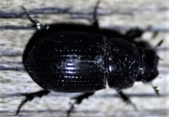 APHODIIDAE Ammoecius elevatus 2 (2).JPG
