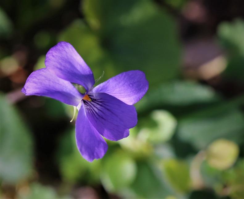 Violette 1.JPG
