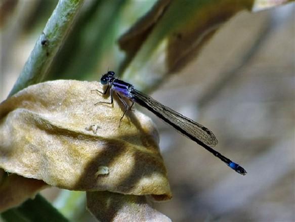 COENAGRIONIDAE Ischnura elegans 2 (agrion élégant).JPG