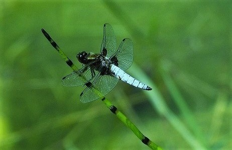 LIBELLULIDAE Libellula depressa 4 (libellule déprimée mâle) (2).JPG
