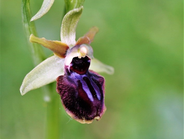 Ophrys araignée 2.JPG