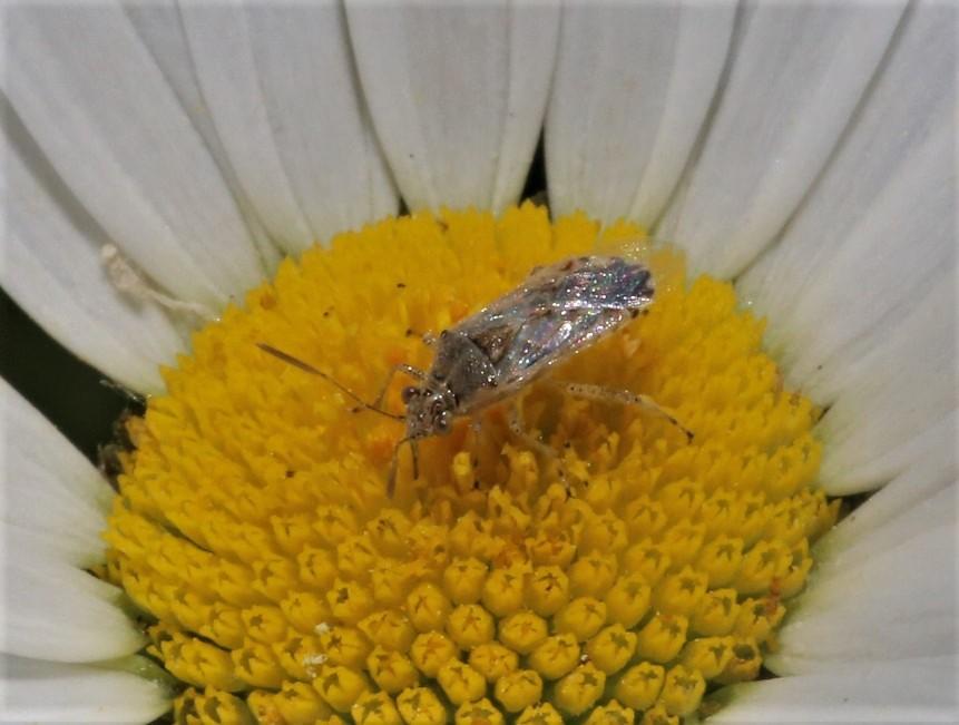 RHOPALIDAE Strictopleurus sp. 4.JPG