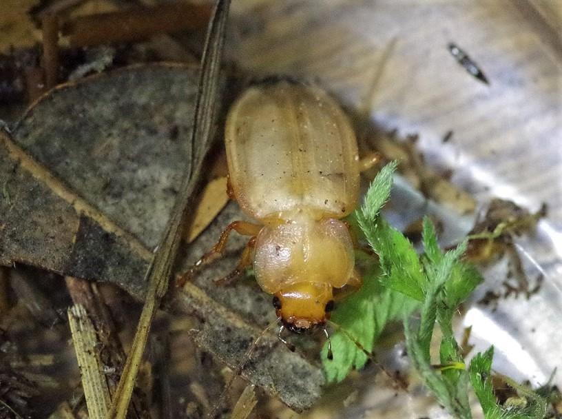 TENEBRIONIDAE Cteniopus sulphureus.JPG