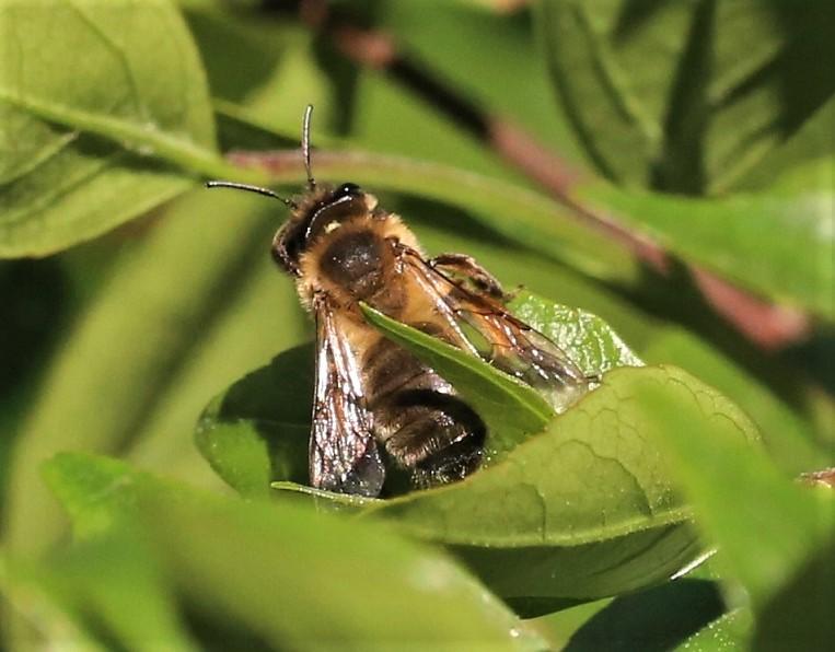 ANDRENIDAE Andrena nigroaenea.JPG