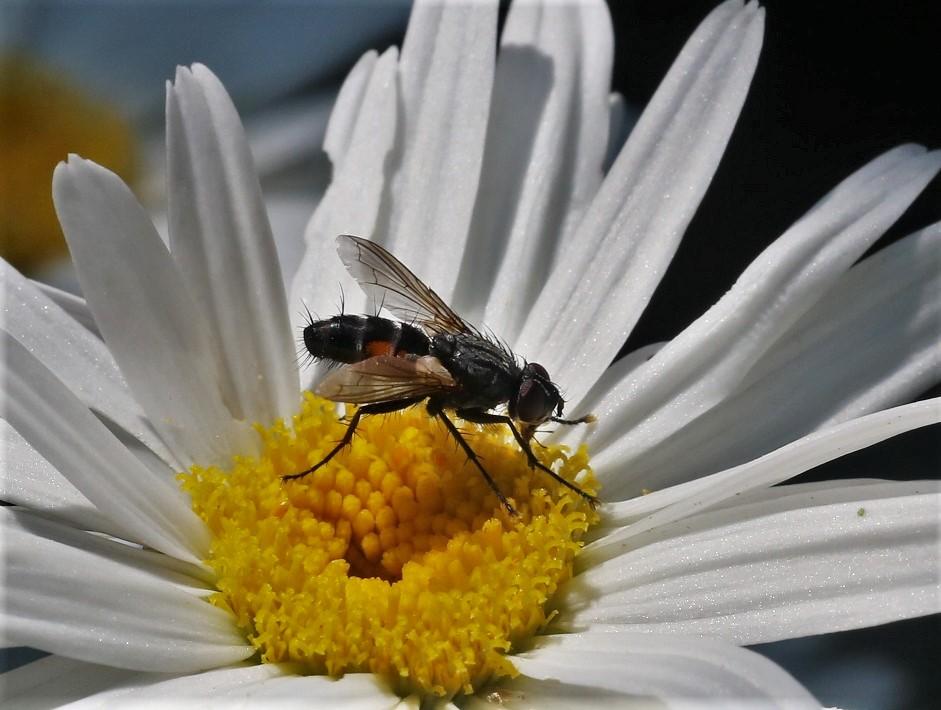 TACHINIDAE Eriothrix rufomaculatus 4.JPG