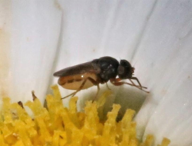 CHLOROPIDAE Tricimba sp. 1.JPG