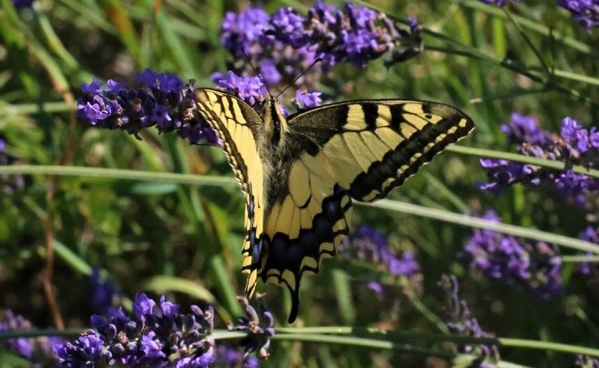PAPILIONIDAE Papilio machaon 5.JPG