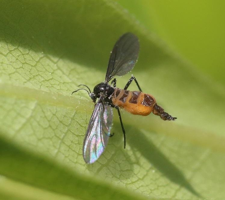 SCIARIDAE Sciara sp. avec entomopathogène 1.JPG