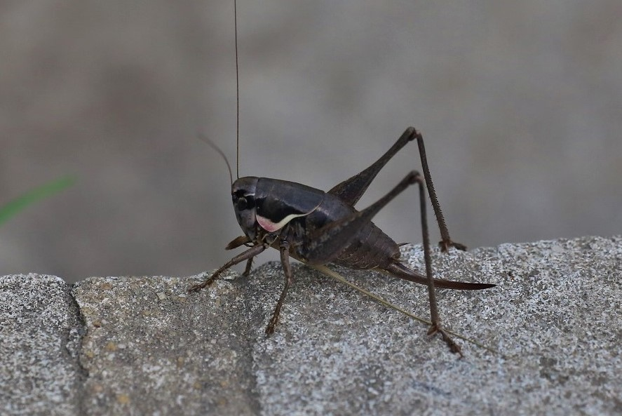 TETTIGONIIDAE Pholidoptera femorata 1 (pholidoptère précoce).JPG