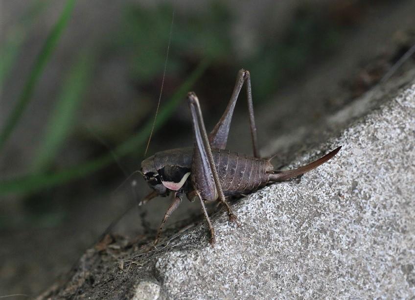 TETTIGONIIDAE Pholidoptera femorata 3 (pholidoptère précoce).JPG