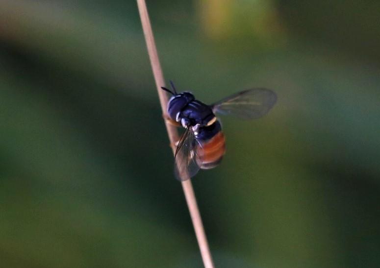 SYRPHIDAE Paragus bicolor 5.JPG