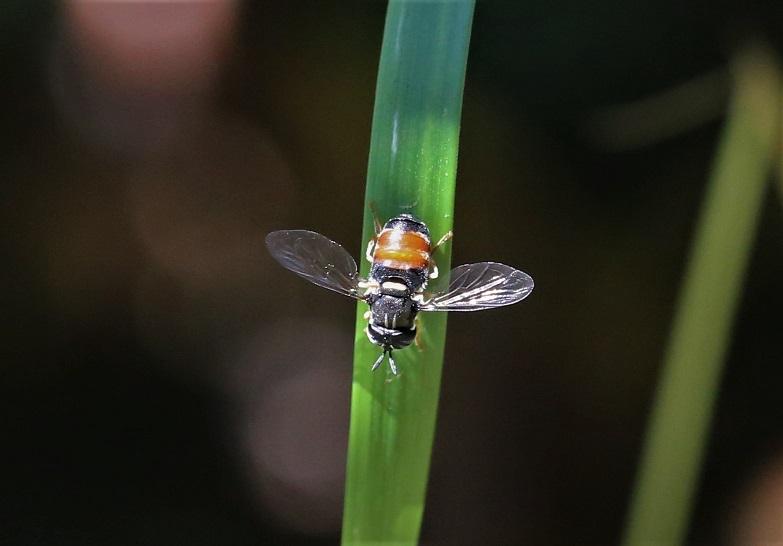 SYRPHIDAE Paragus bicolor 6.JPG
