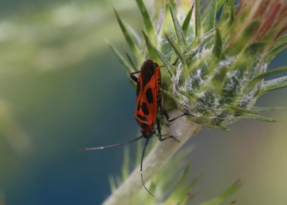 MIRIDAE Calocoris nemoralis 1 (punaise décorée).JPG