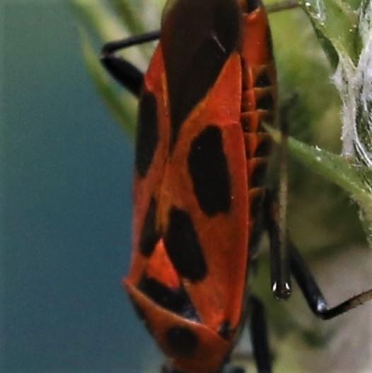 MIRIDAE Calocoris nemoralis 1 (punaise décorée) (2).JPG