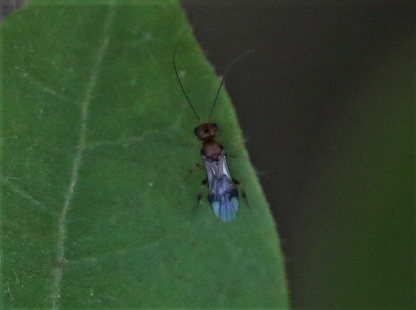 BRACONIDAE Phanerotoma sp..JPG
