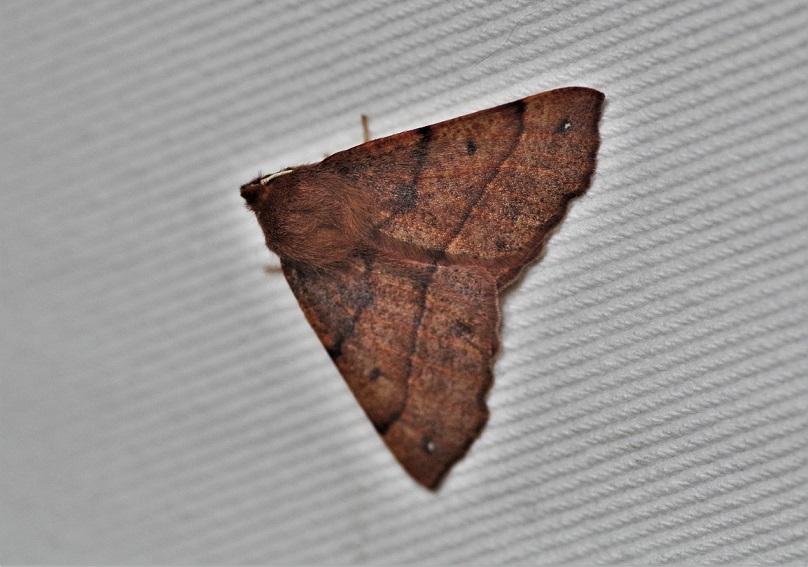 GEOMETRIDAE Colotois pennaria 1 (phalène emplumée).JPG