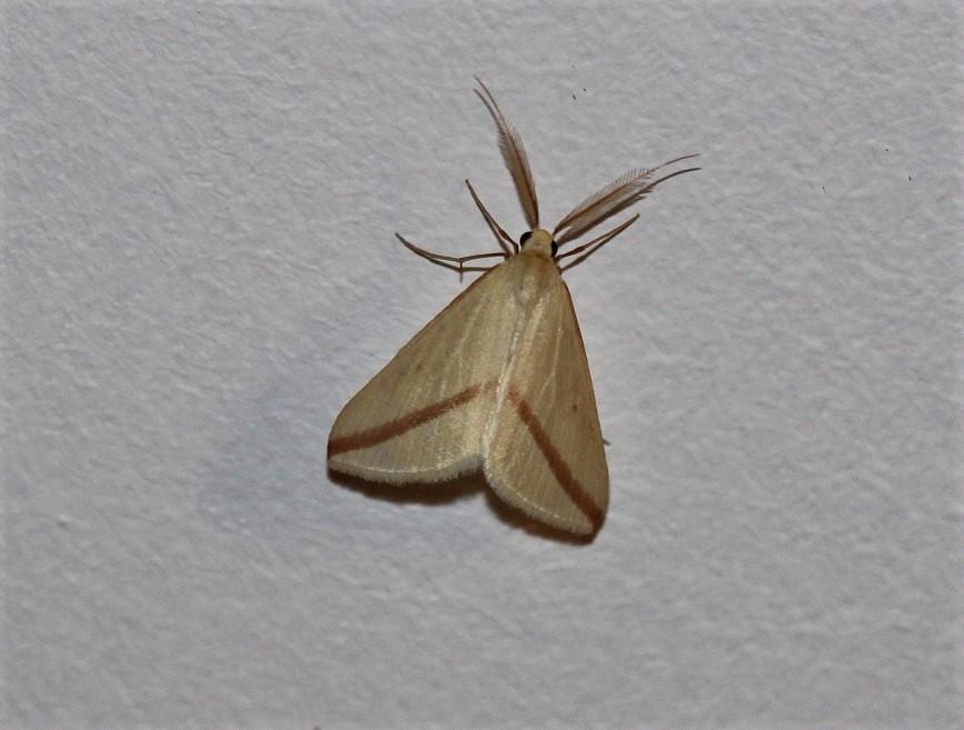 GEOMETRIDAE Rhodometra sacraria 1 (phalène sacrée).JPG
